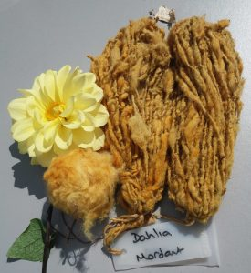 Sheep's fleece naturally dyed pale orange with dahlia flowers