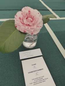 Photo of Camellia 'Contessa Lavinia Maggi' being exhibited in Class 19 of the RHS Spring Show