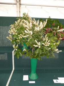Photo of Pieris in Bloom being exhibited for the RHS Spring Show