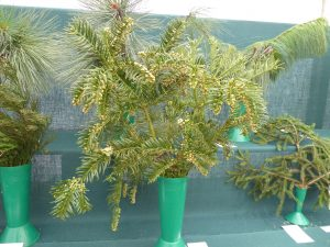 Photo of a vase of Cephalotaxus harringtonia being exhibited in the RHS Spring Show