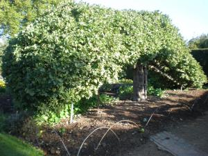 Apple espalier Newton Wonder